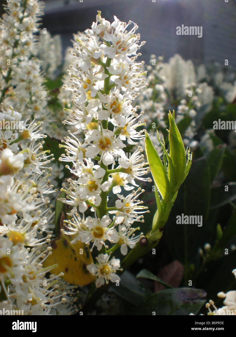 English Laurel Otto Lukyen (Prunus laurocerasus) Stock Photo
