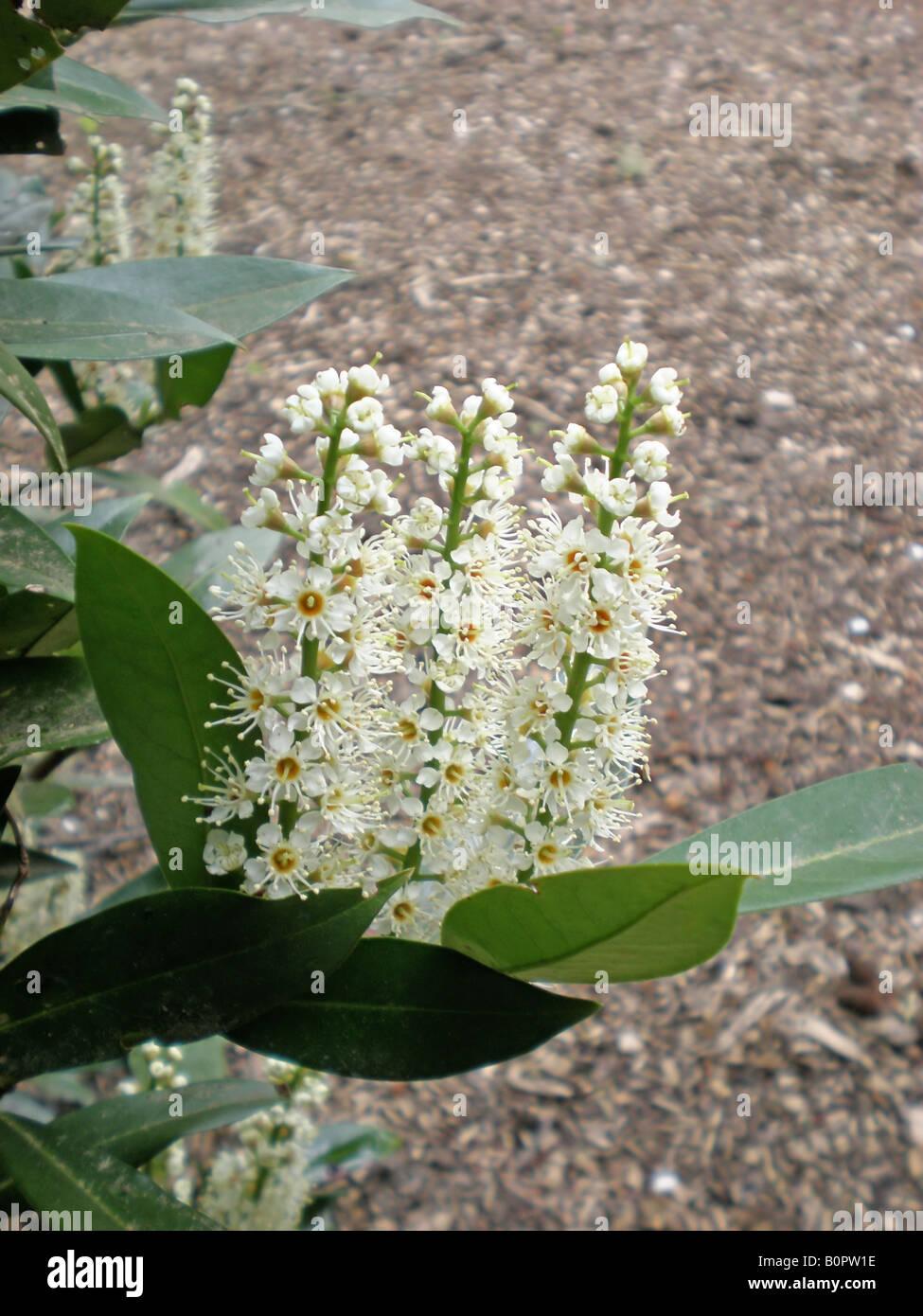 The spring fowers of Otto Lukyen English Laurel Prunus laurocerasus - Stock Image