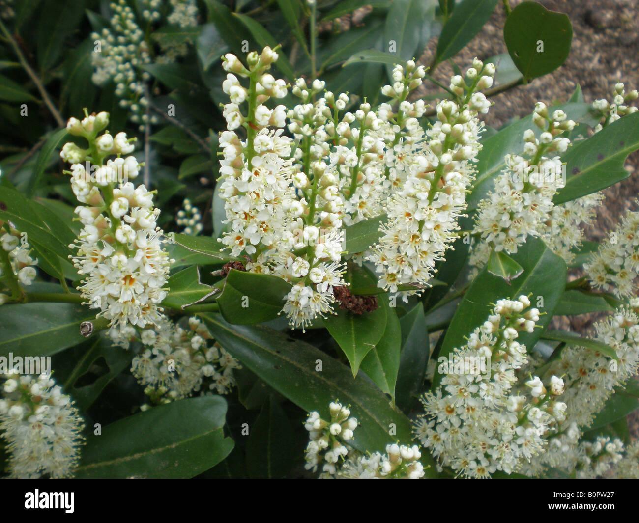 English Laurel Otto Lukyen (Prunus laurocerasus) - Stock Image