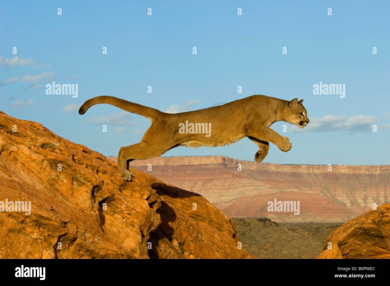 Cougar or Mountain Lion in Native Habitat - Stock Image