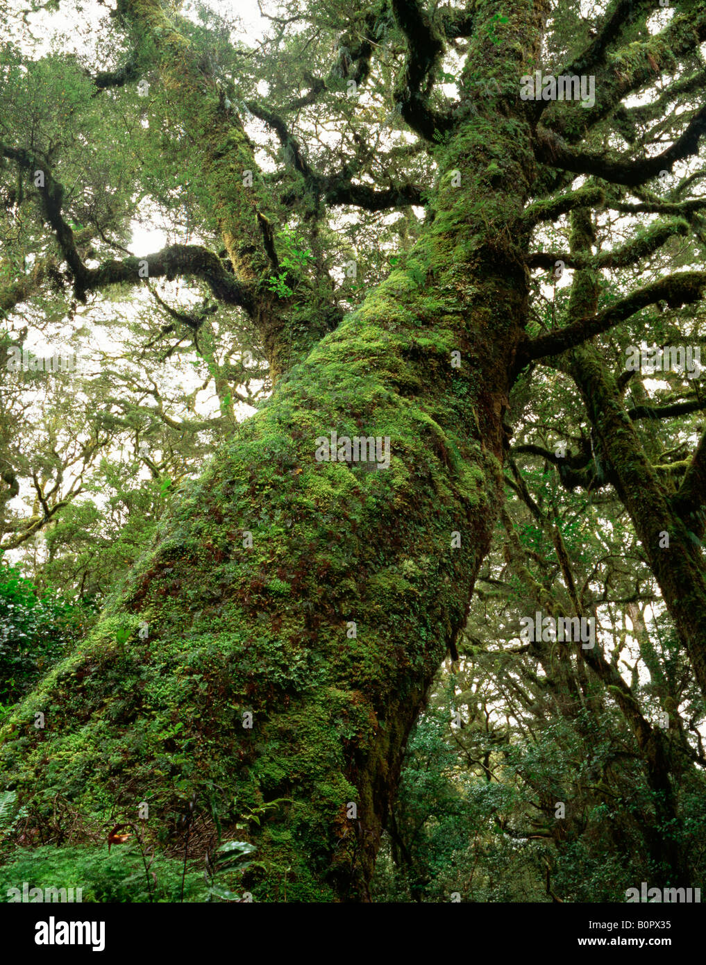 Ent like Silver Beech (Nothofagus menziesii) on the Hollyford Track, Fiordland National Park, New Zealand - Stock Image