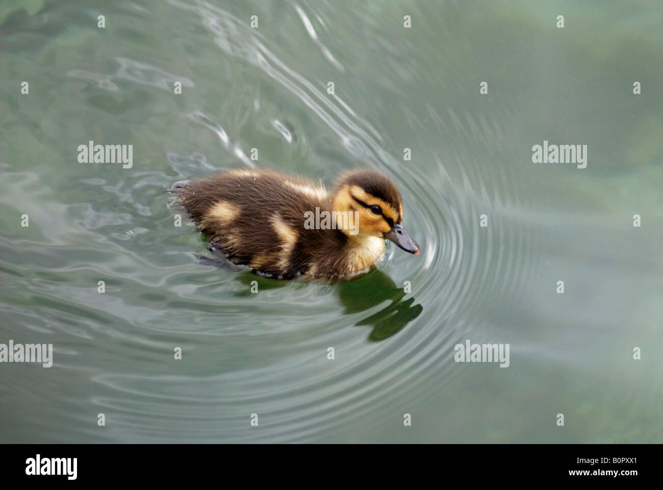 Mallard Duckling on Lake Ontario - Stock Image