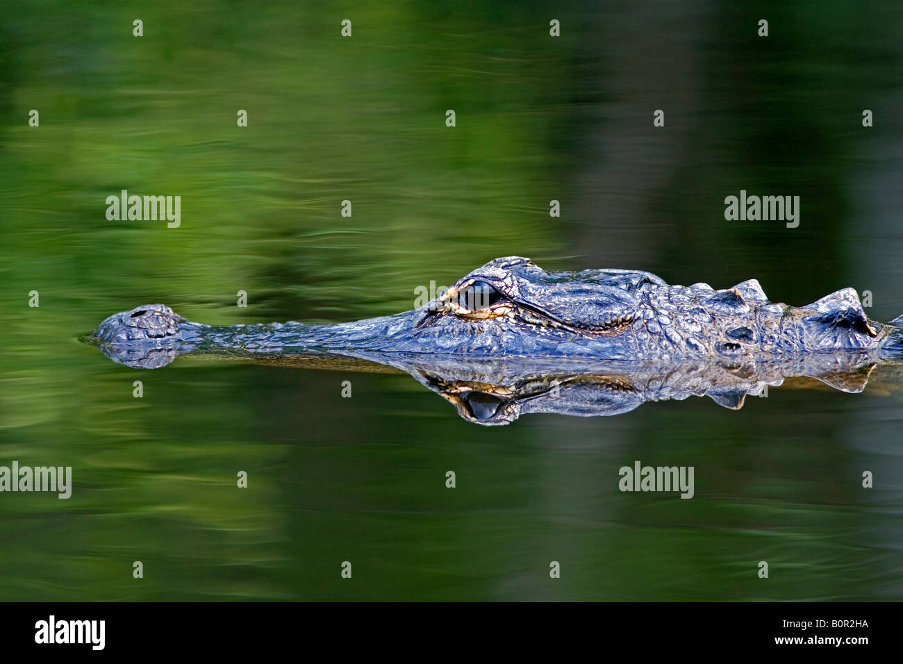 American Alligator in Everglades National Park Florida - Stock Image