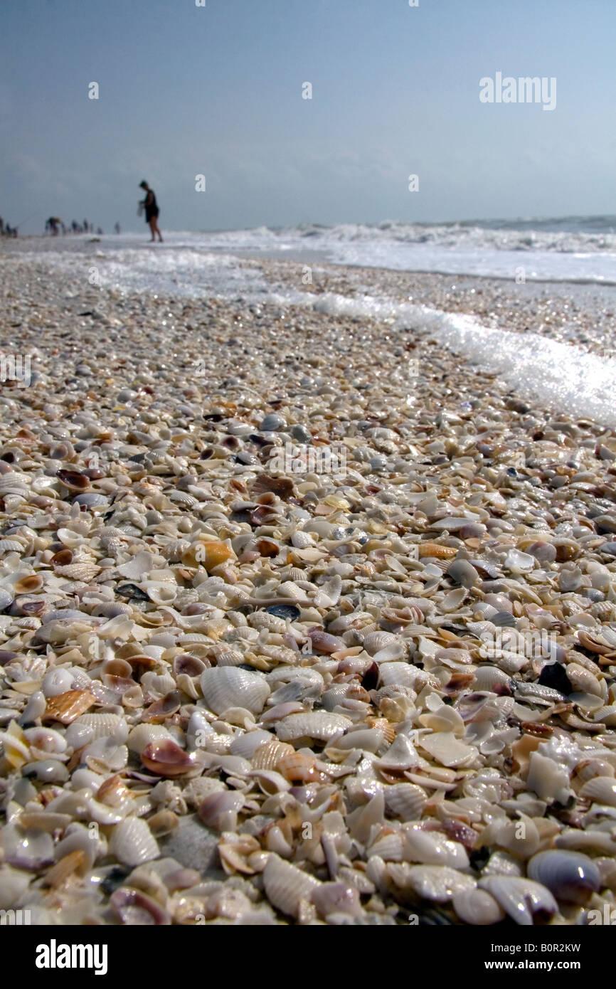 Seashells On The Beach At Sanibel Island On The Gulf Coast
