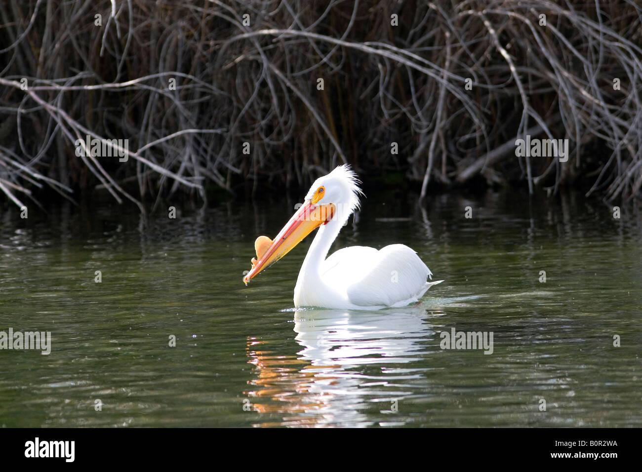American White Pelican in the Snake River at Hagerman Idaho - Stock Image