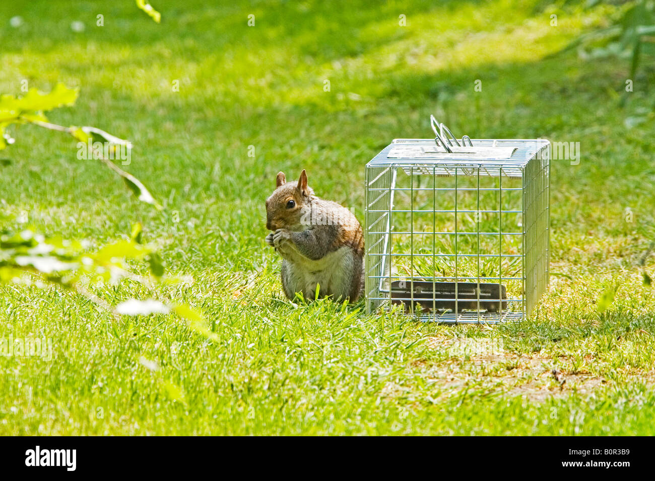 Grey Squirrel (Sciurus carolinensis) stealing nuts from trap - Stock Image
