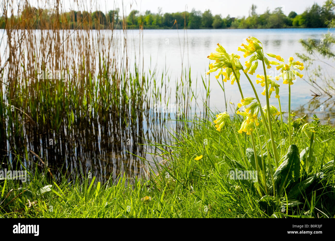 Mill Lake, a nature reserve in the Cotswold Water Park, Gloucestershire, England, UK, with a cowslip Primula veris Stock Photo