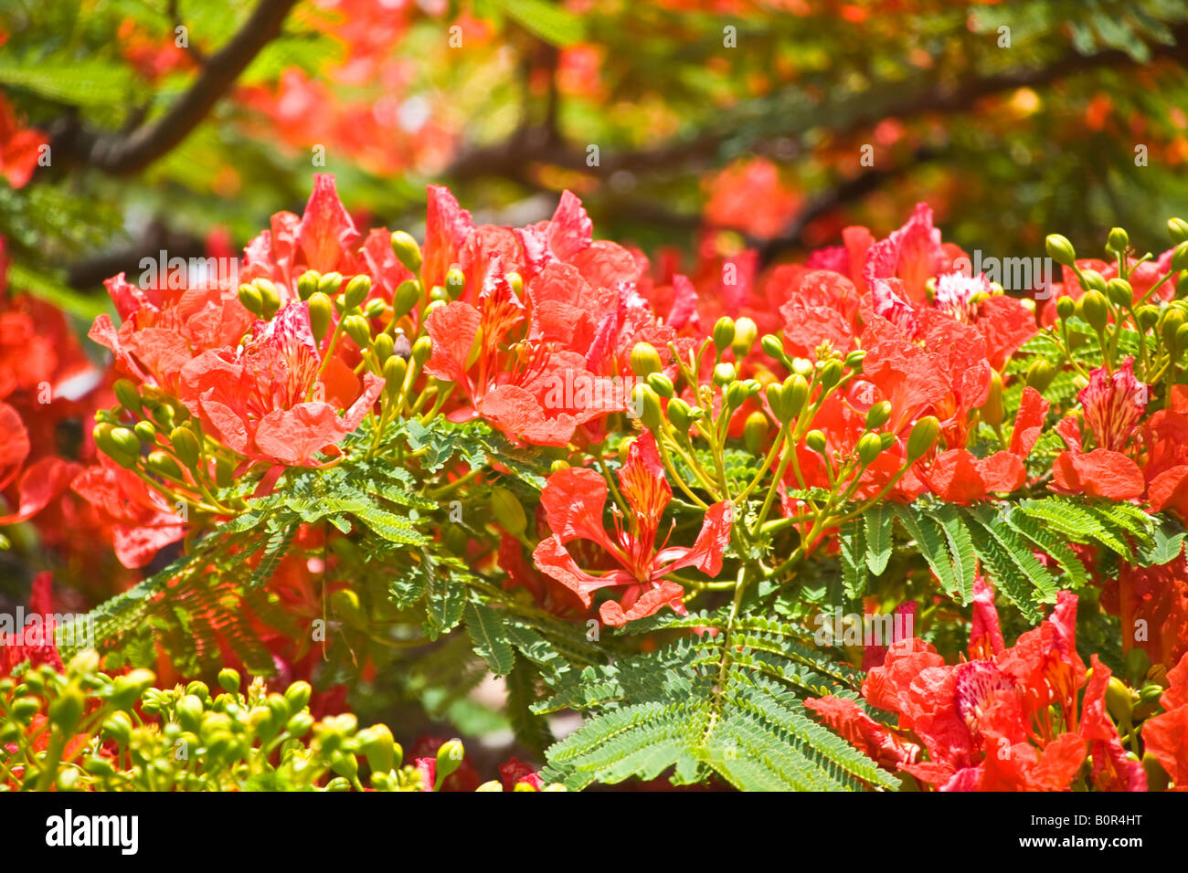 Blossoms of Flamboyant Tree Grand Canary - Stock Image