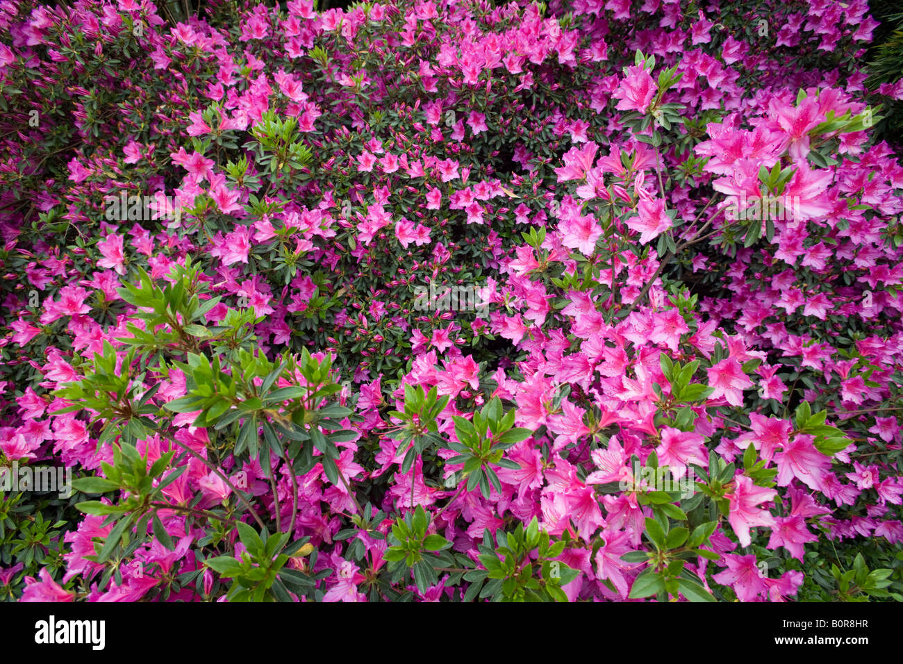 A clump of blossoming Azaleas (France). Massif d'Azalées du Japon (Rhododendron sp) en fleurs (France). Stock Photo