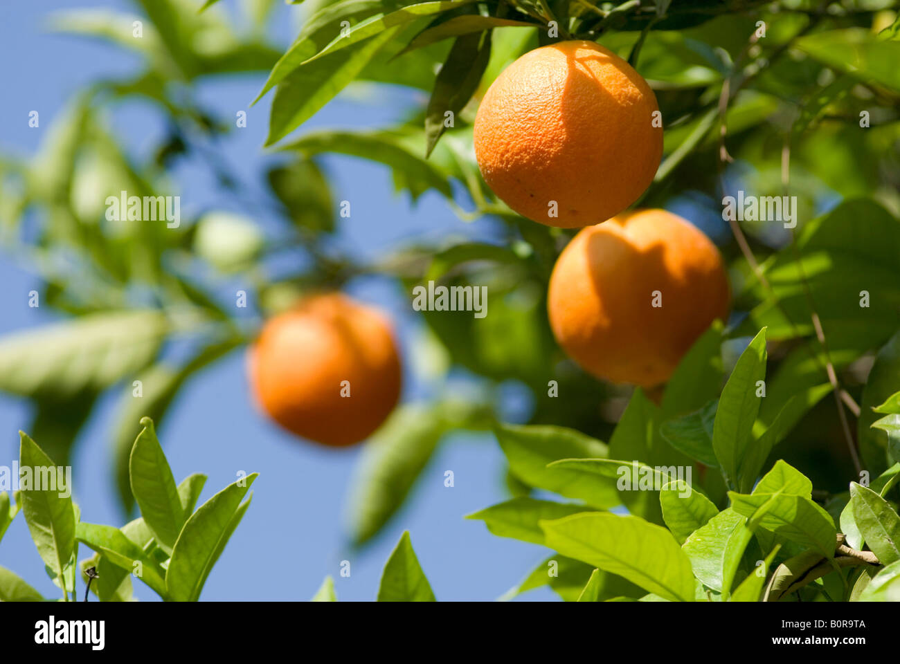 Europe Italy Campania Orange Tree in Sorrento Stock Photo