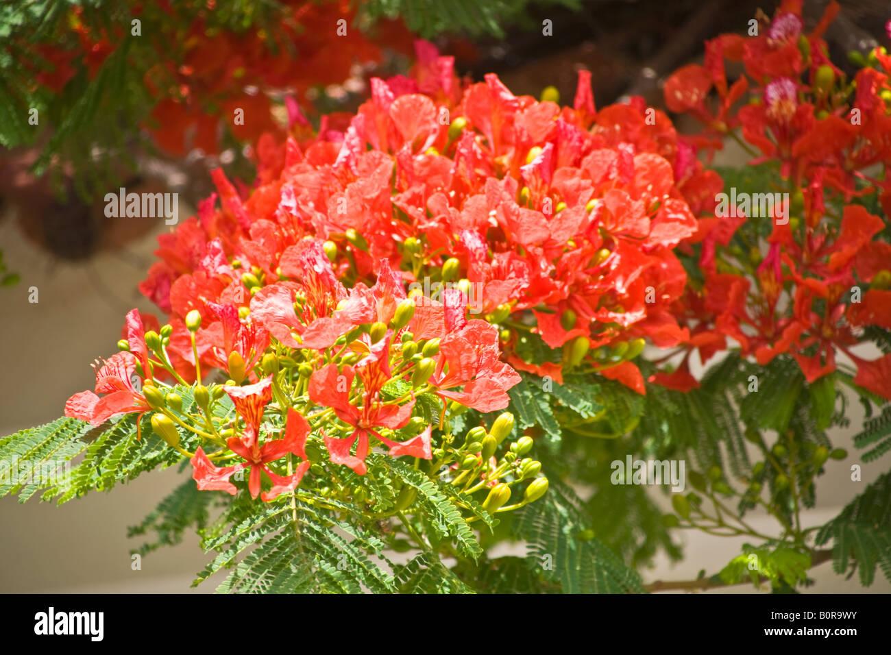 Flamboyant Tree Blossoms Grand Canary - Stock Image