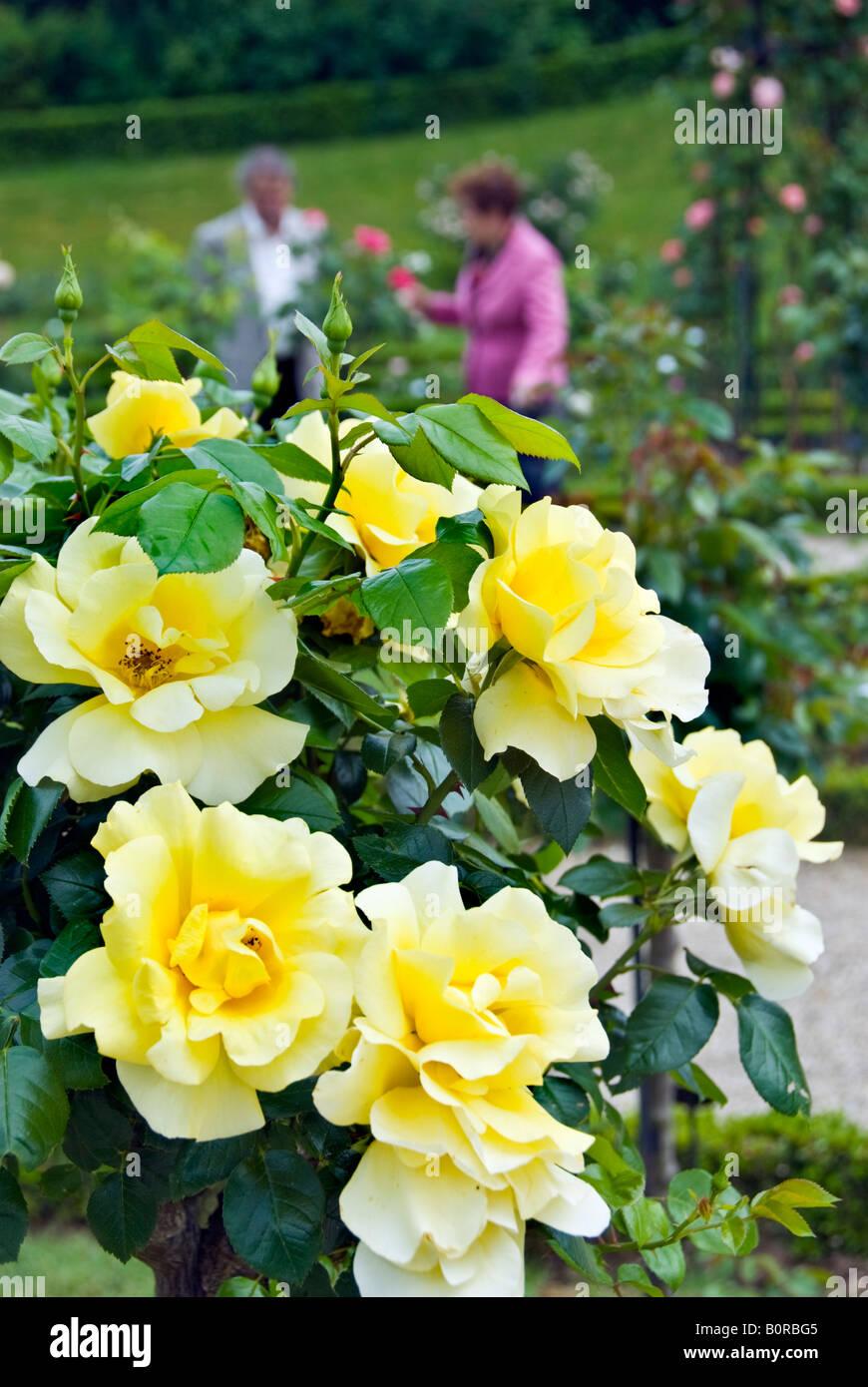 "Paris France, Public Parks People Visiting Bagatelle Rose Garden in Boulogne Park, Detail ""Mary Cave Harmite"" Rose Stock Photo"