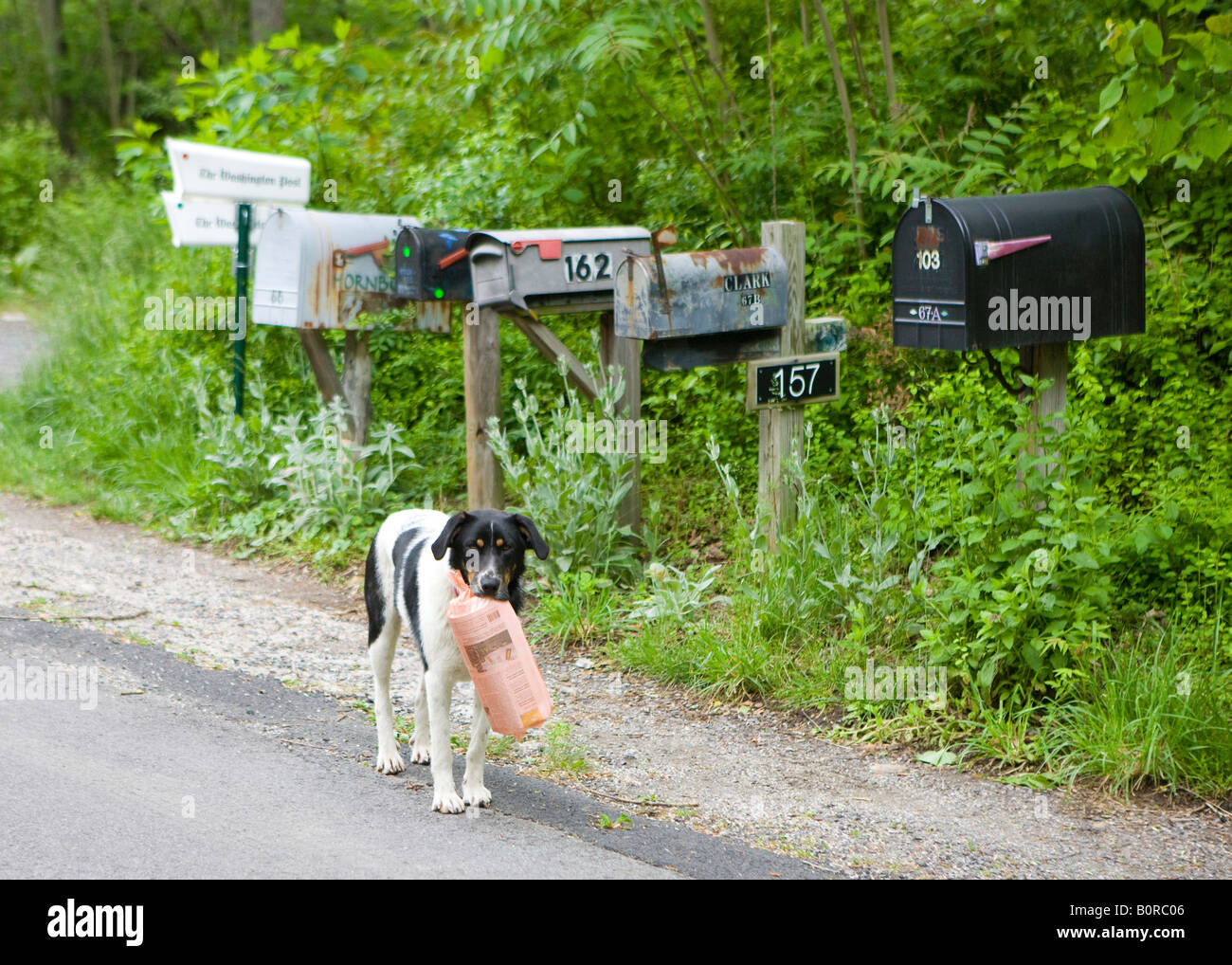 A black white dog retrieves and carries morning newspaper to his owner Needles Rd near Old Rag Shenandoah National - Stock Image