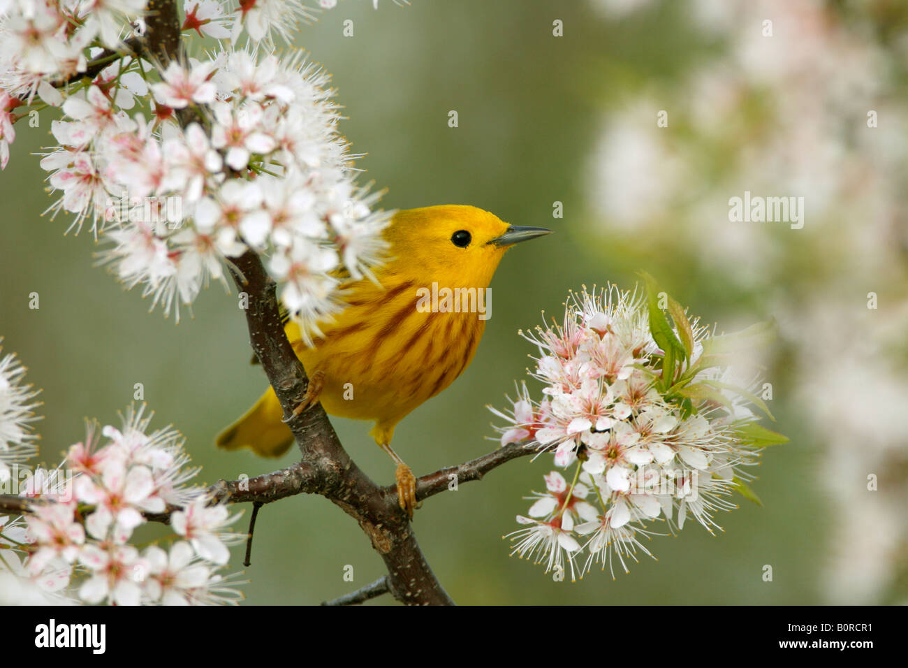 Yellow Warbler Perched in Cherry Blossoms - Stock Image