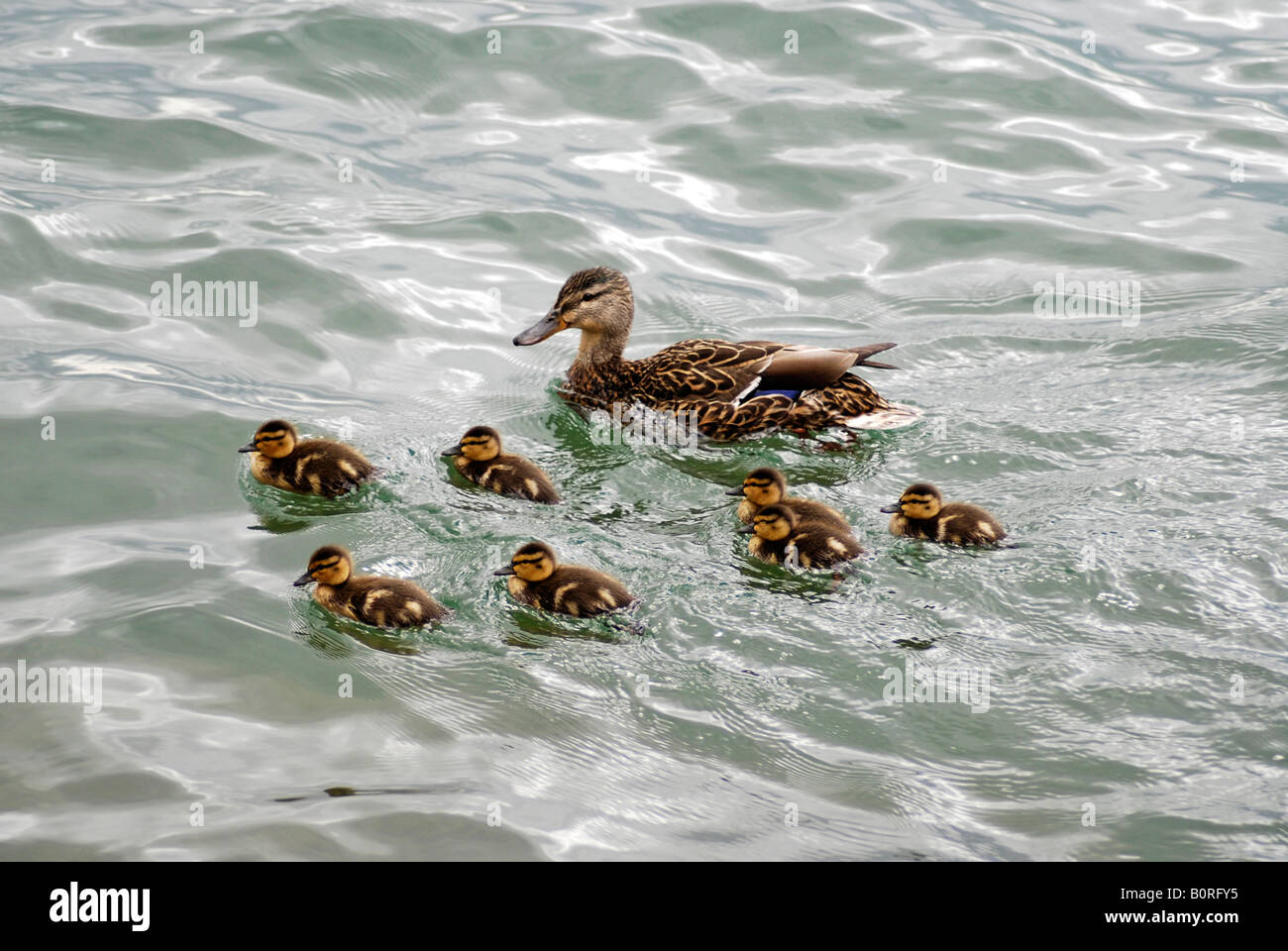 Mallard Duck with Ducklings - Stock Image