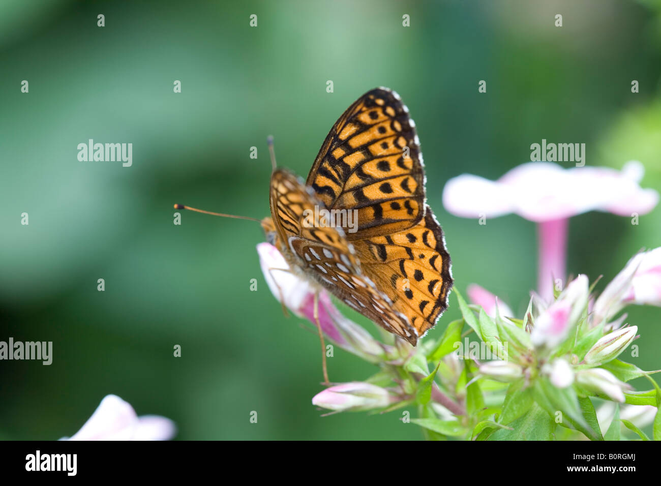butterfly basking on flower - Stock Image