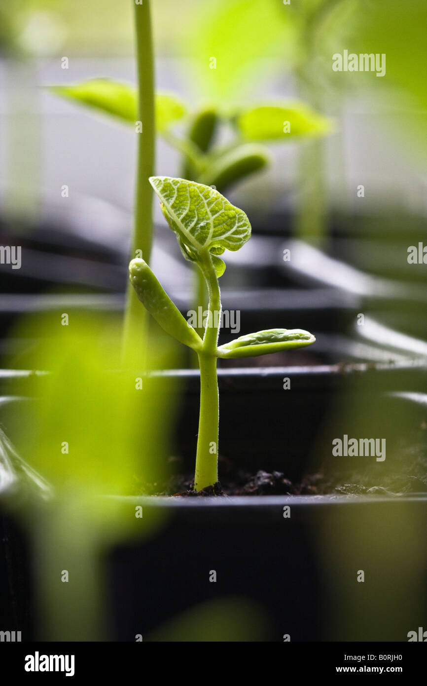 Bean seedling emerging - Stock Image