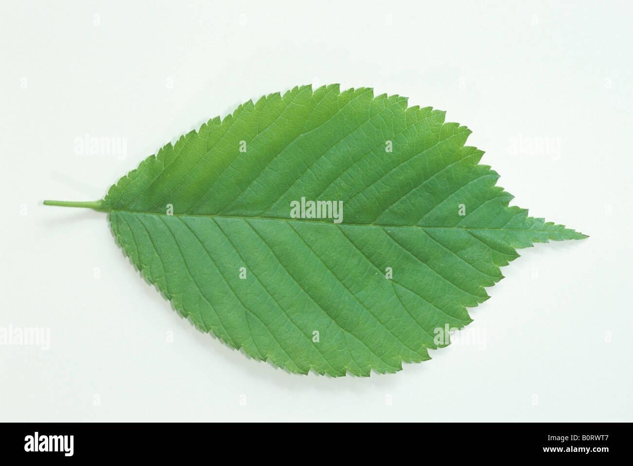 Wych Elm (Ulmus glabra), leaf, studio picture - Stock Image