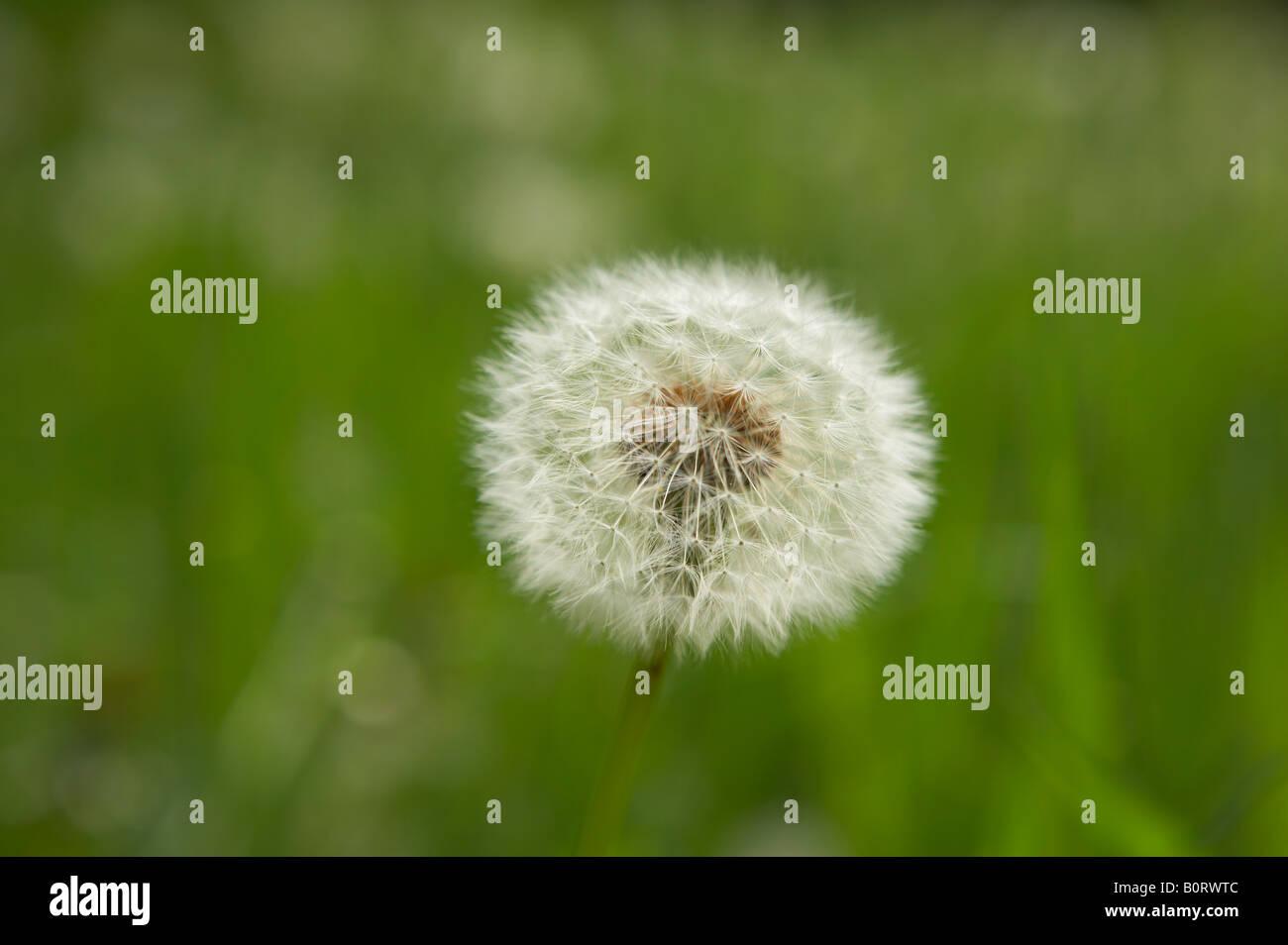DANDELION CLOCK SEEDS GROWING IN LONG GRASS - Stock Image
