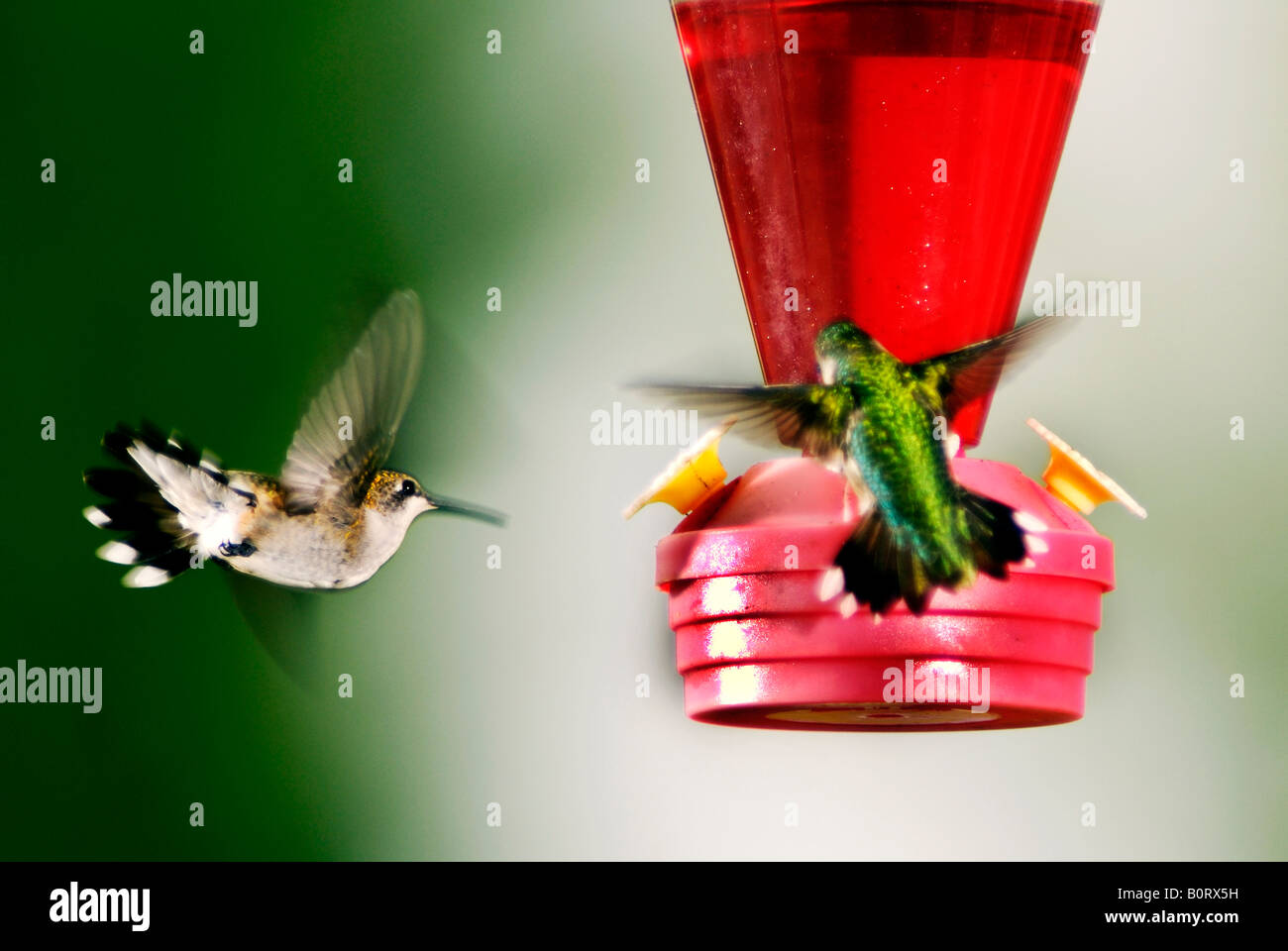 Hummingbirds fighting over a feeder - Stock Image