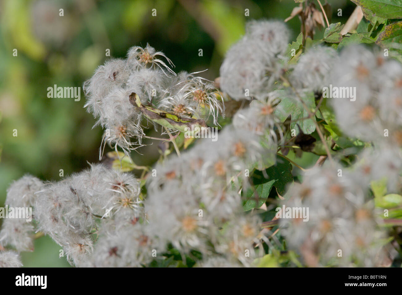 Traveller's Joy Clematis vitalba seed heads in hedge - Stock Image
