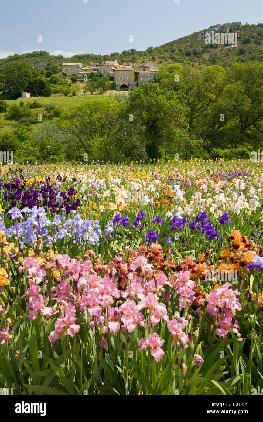 Irises cultivation (Iris germanica), in Ardeche (France). Culture d'Iris (Iris germanica), en Ardèche. - Stock Image