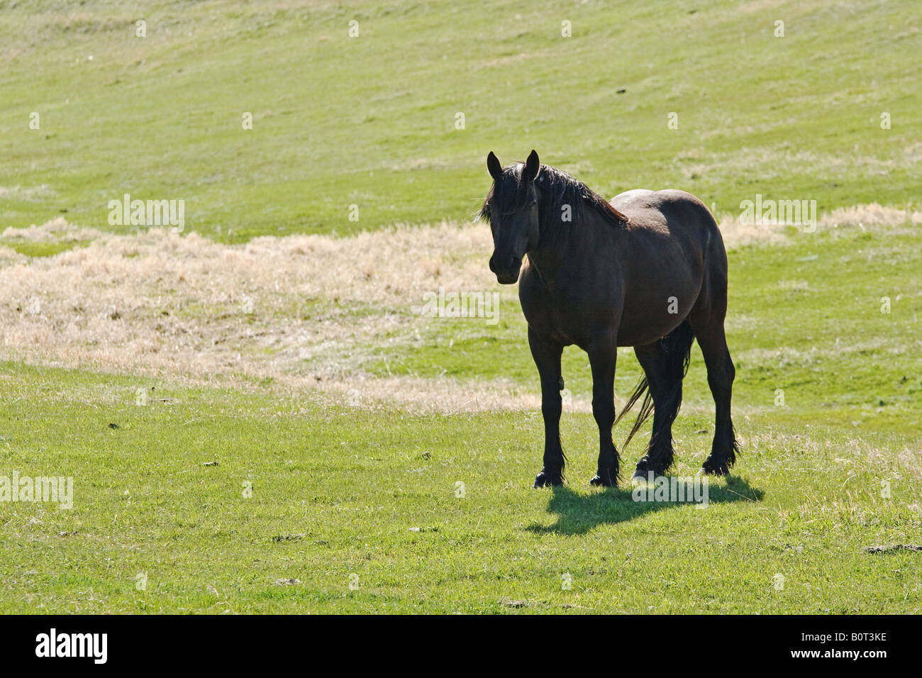Black Fresian Cross Light Draft Horse Standing In Field Looking At Stock Photo Alamy