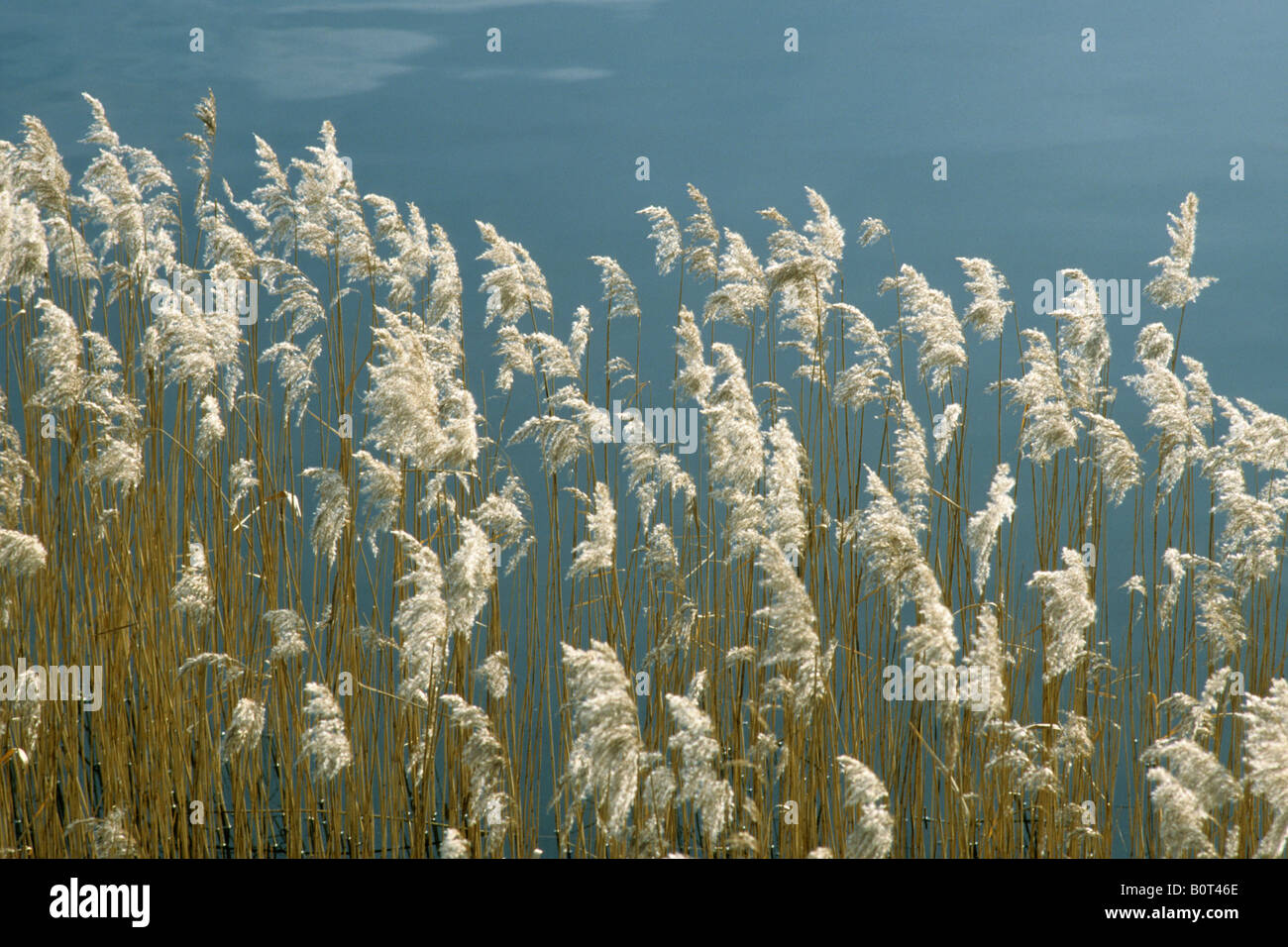 Common Reed, Reed Grass (Phragmites communis), seed stalks - Stock Image