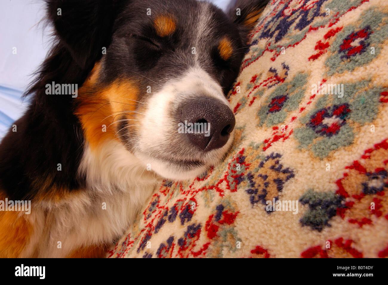 Close up of a dog asleep on a carpet - Stock Image