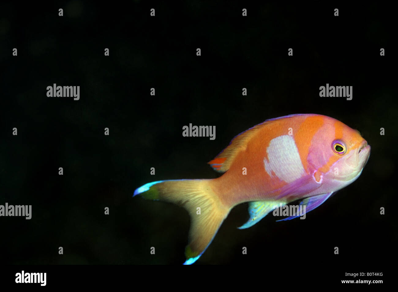 Red pink and purple anthias with a big purple square in the middle of its body under water - Stock Image