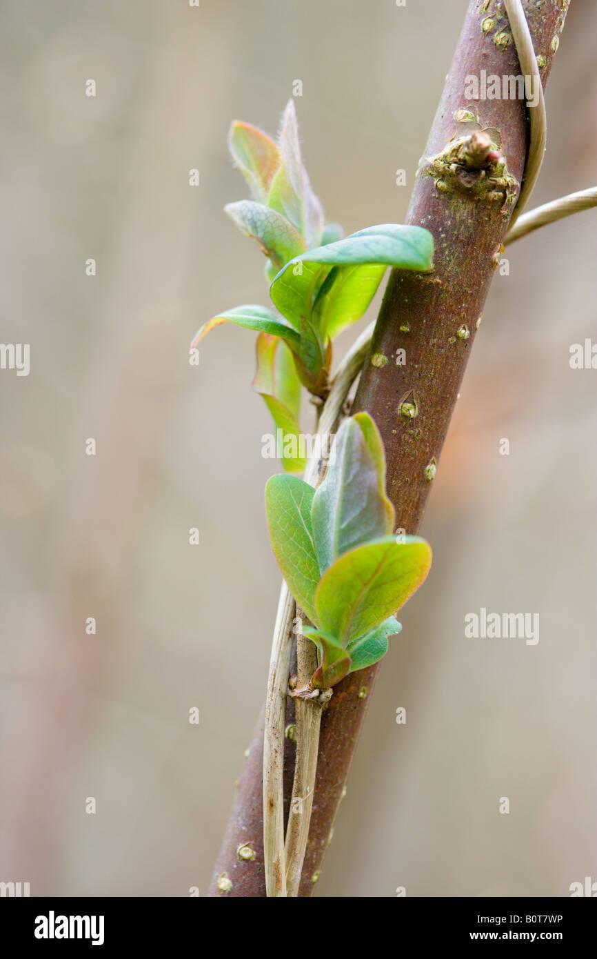 Traveller's Joy Clematis vitalba leaf buds on hazel branch - Stock Image