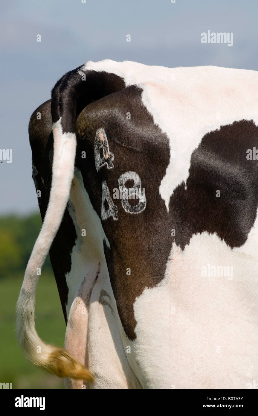 Freeze branded numbers on cows rump Cumbria England - Stock Image