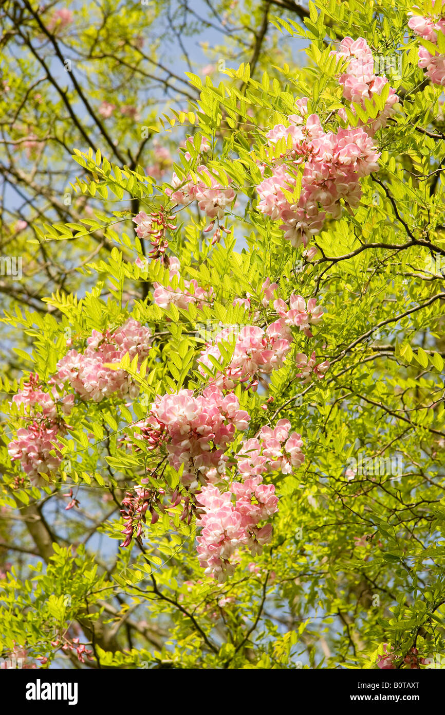 Pink Flowers And New Spring Leaves Of False Acacia Tree Robinia