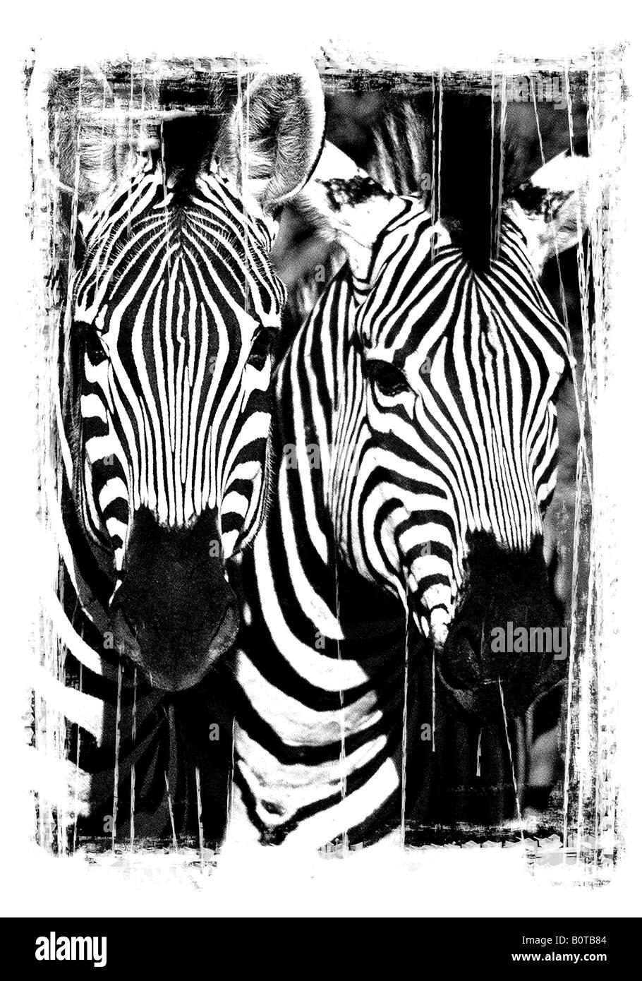 Burchell's Zebra, Equus quagga burchellii - Stock Image