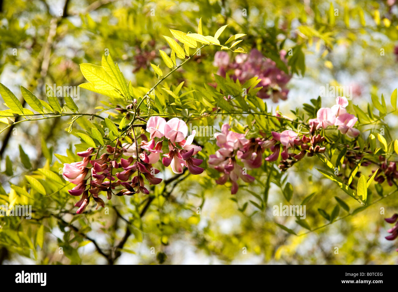 Pink flowers and new spring leaves of false acacia tree robinia pink flowers and new spring leaves of false acacia tree robinia pseudoacacia decaisneana mightylinksfo