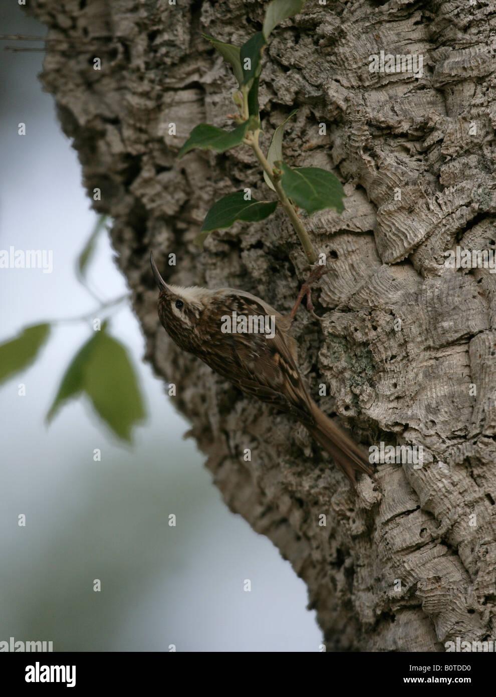 Short toed treecreeper Certhia brachydactyla spring Spain - Stock Image