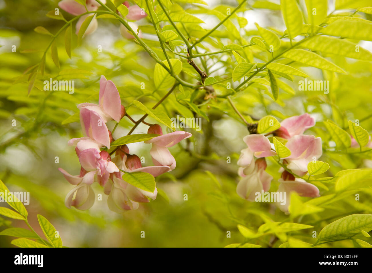 Pink locust pink robinia robinia stock photos pink locust pink pink flowers and new spring leaves of false acacia tree robinia pseudoacacia decaisneana stock image mightylinksfo