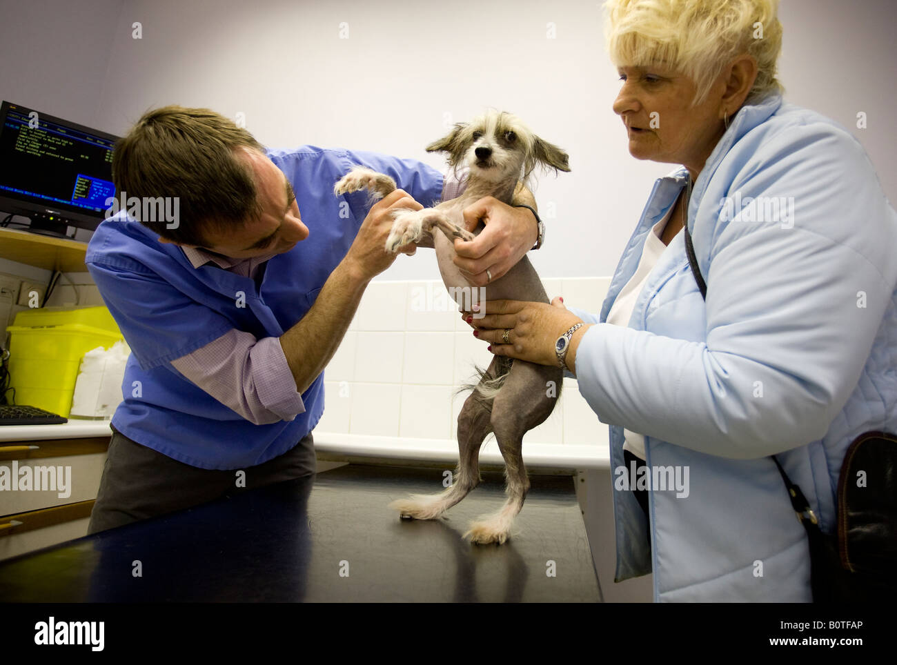 A Chinese crested hairless dog is examined by a vet as its owner looks on. Picture by James Boardman - Stock Image