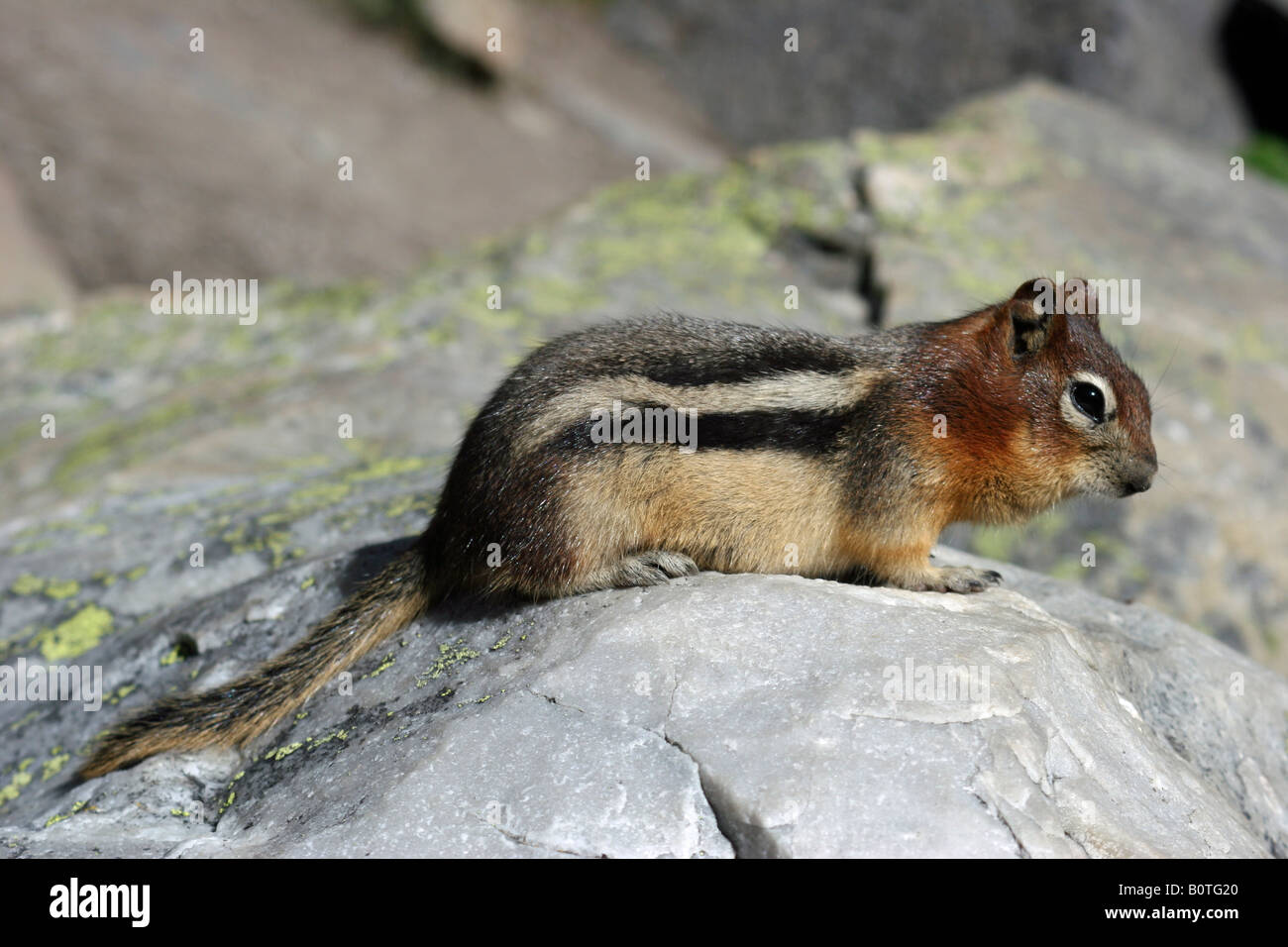 Golden-mantled ground-squirrel resting in the sun on a rock - Stock Image