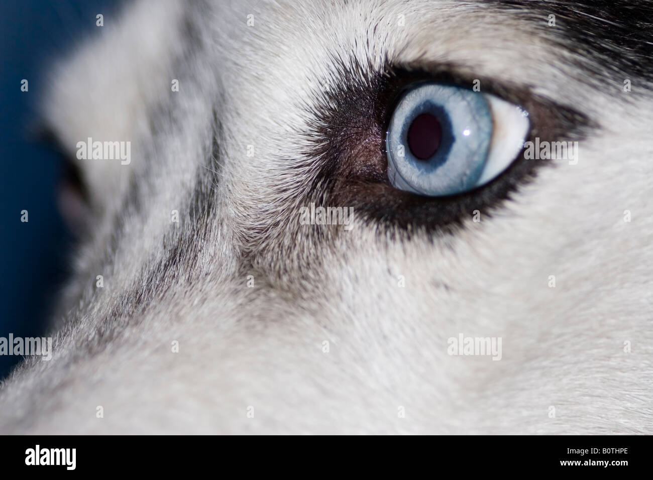 Close Up Of Siberian Husky Blue Eye Stock Photo 17751174 Alamy