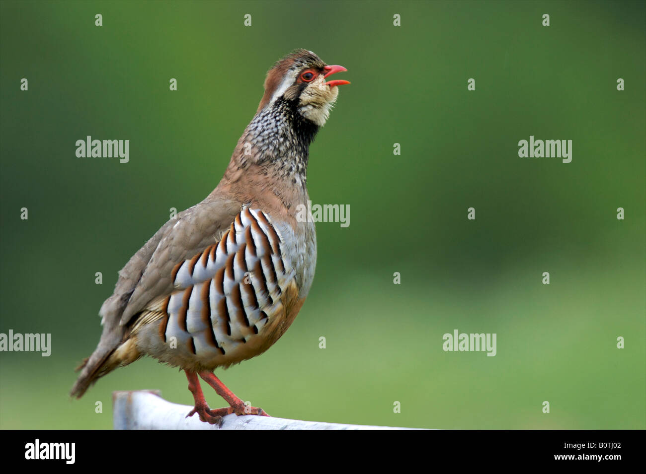 Red legged partridge calling - Stock Image