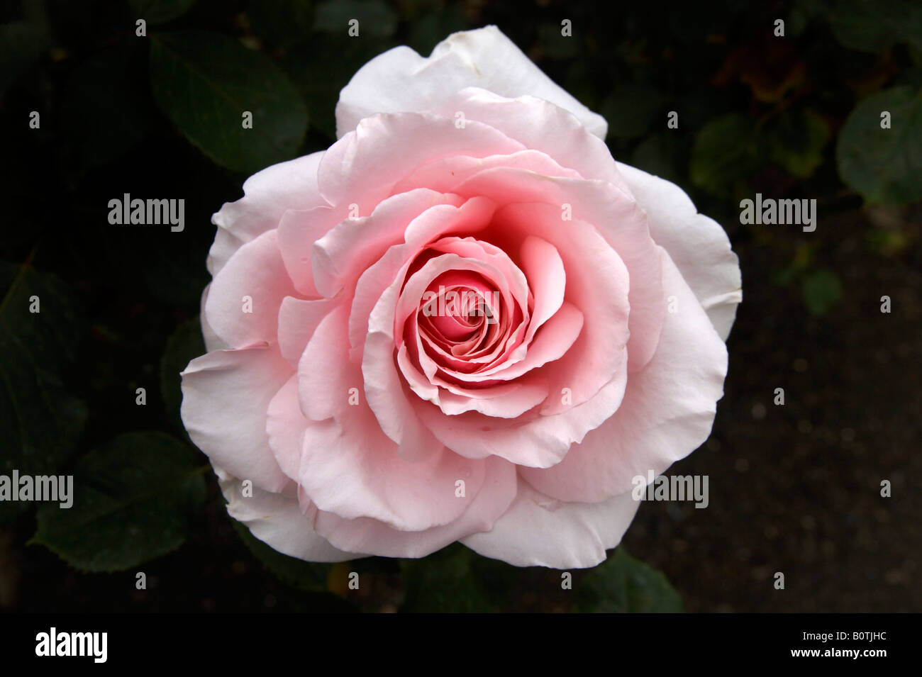 Savoy Hotel rose in Regent's Park, London - Stock Image
