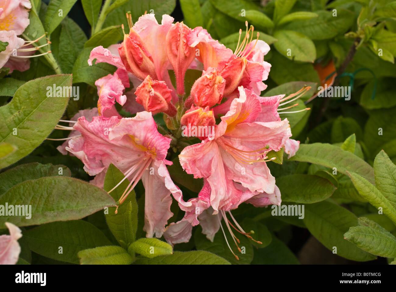 Azalea Strawberry Ice flower in May - Stock Image