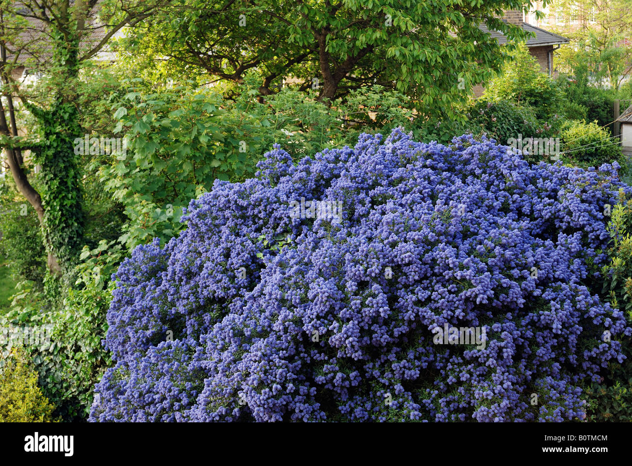 CALIFORNIA LILAC BUSH CEANOTHUS IN SUBURBAN GARDEN LONDON