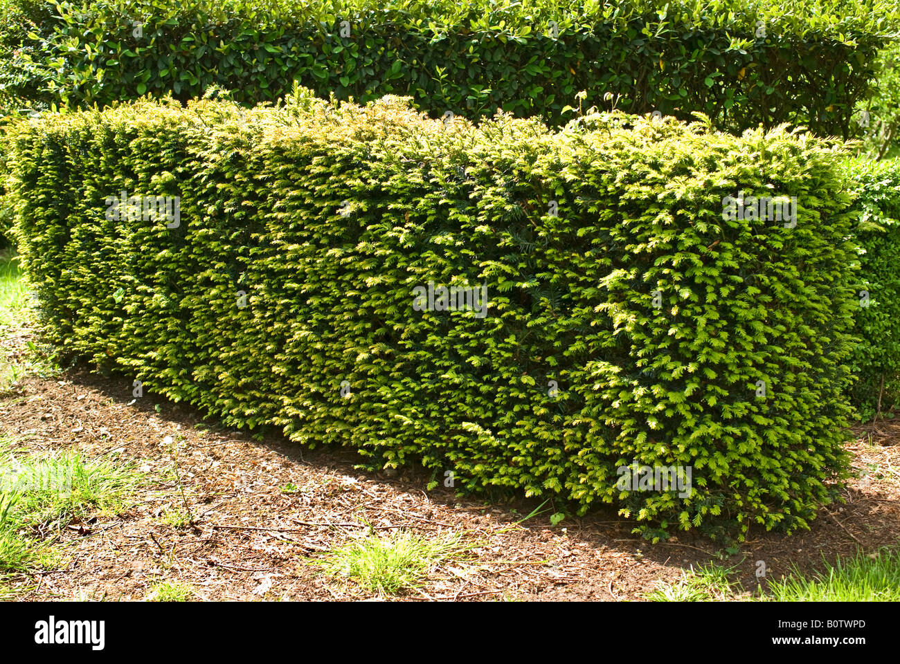 Yew hedge in May - Stock Image