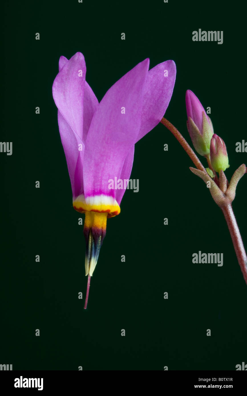 studio image of dodecatheon red wings - Stock Image