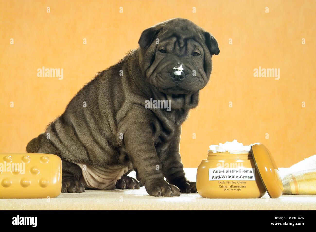 Shar Pei next to cream - Stock Image