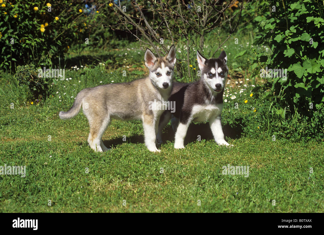 husky - two puppies standing on meadow - Stock Image