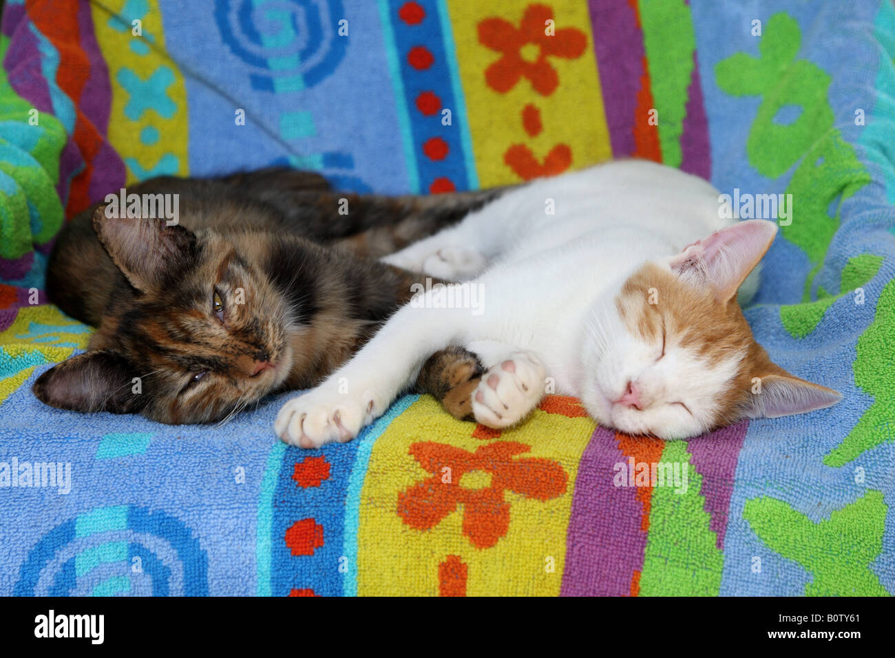 two domestic cats - sleeping - Stock Image