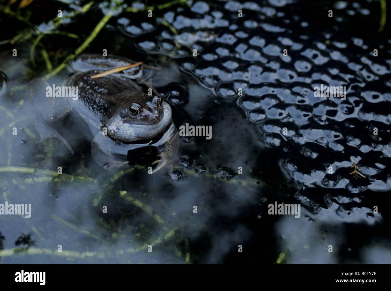 Frog Croaking Amongst New Spawn - Stock Image